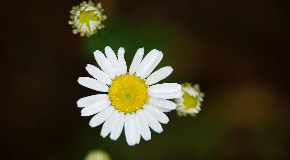 daisy-22887_960_720