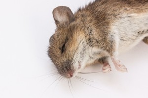 mouse-350060_960_720