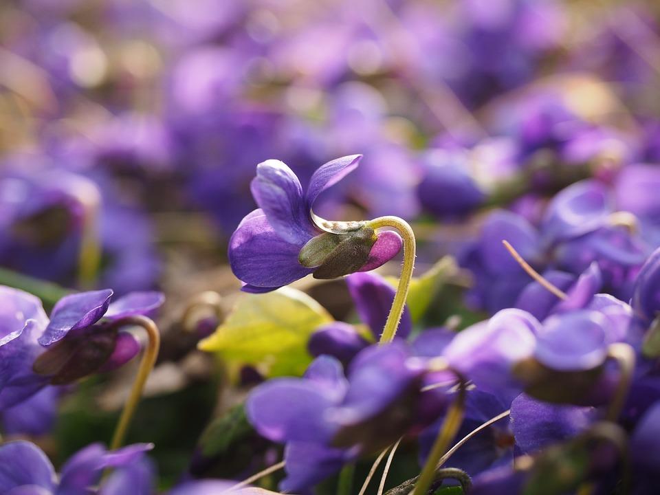 scented-violets-1077162_960_720